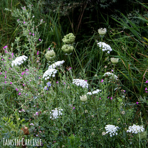 Wild Carrot and Greater Willowherb