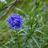 Blue-flowered Garlic