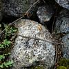 Stonecrop