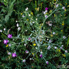 Purple Star Thistle