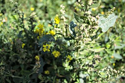 Family: Amaranthaceae Family: Brassicaceae