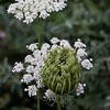Wild Carrot with Ants