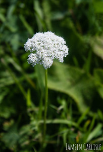 White Mountain Umbellifer