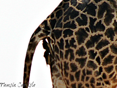 Oxpeckers on Giraffe