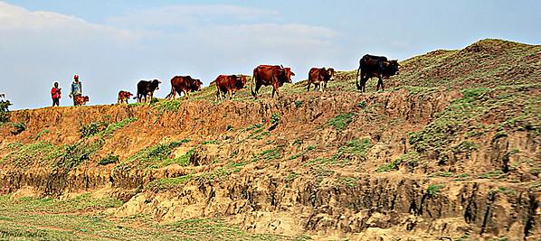 Sanga Cattle
