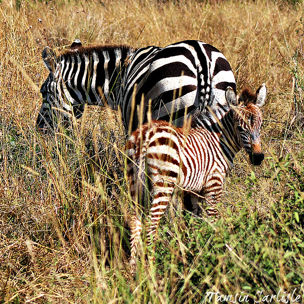 Plains Zebra-mare with foal