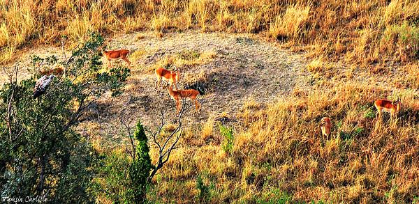 Impala and Vulture