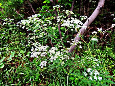 Family: Apiaceae