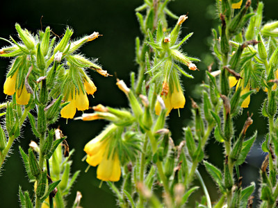 Yellow-flowered Comfrey