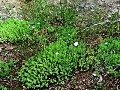 Stonecrop and Stitchwort
