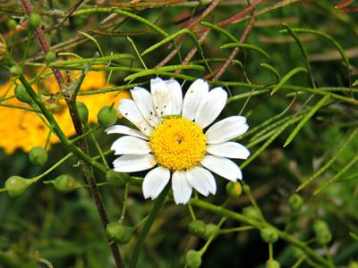 Caucasus Daisy