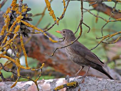 European Blackbird (female)