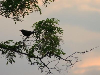 European Blackbird (male)