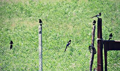 Eurasian Magpies