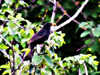 Euroopean Blackbird (male)