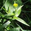Yellow Oxeye