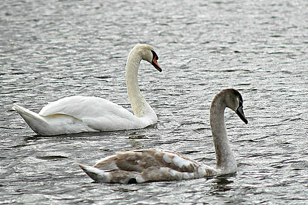 Mute Swans - adult and cygnet