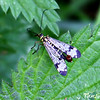 Scorpion Fly - male