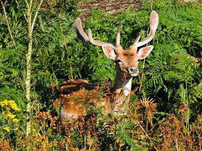 Fallow Deer - buck
