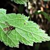 Marmalade Howeverfly - male