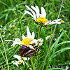 White-lipped Snail on Oxeye Daisy