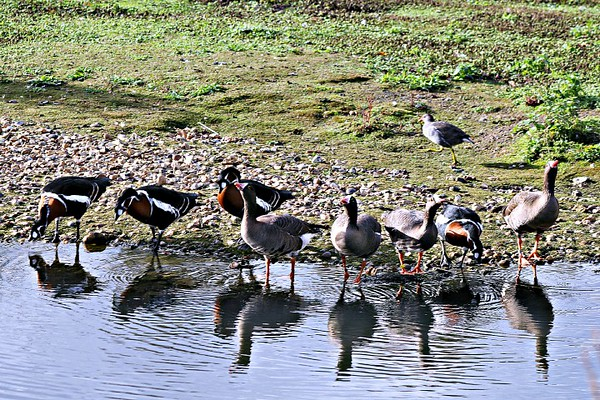 Red-breasted and White-fronted Geese