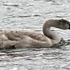 Mute Swan - cygnet