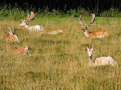 Fallow Deer - bucks