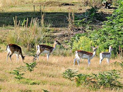 Fallow Deer - does
