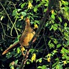 Golden Pheasant - female