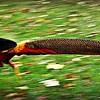 Golden Pheasant - male