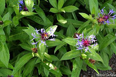 Dicots-Adoxaceae to Asteraceae