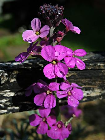 Dicots-Balsamaceae to Cucurbitaceae