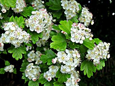Dicots-Ranunculaceae to Violaceae