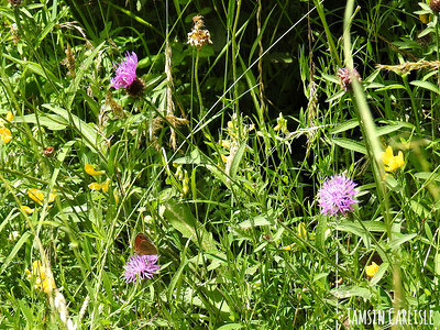 Greater Knapweed with Meadow Brown Butterfly
