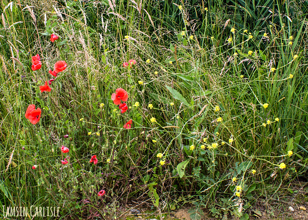 Field Poppies and Mustard
