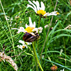 Oxeye Daisies and White-lipped Snail
