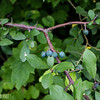 Blackthorn/Sloe