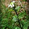 Garlic Mustard/Jack-by-the-hedge/Hedge Garlic