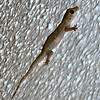 Yellow-bellied House Gecko