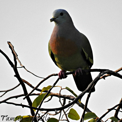 Pink-necked Green Pigeon--male