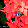 Digger Bee on Ixora
