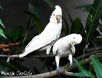 Tanimbar Corellas/ Goffin's Cockatoos
