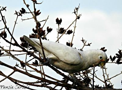 Tanimbar Corella/ Goffin's Cockatoo