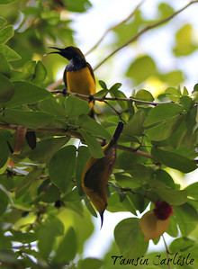 Olive-backed/Yellow-bellied Sunbird Pair