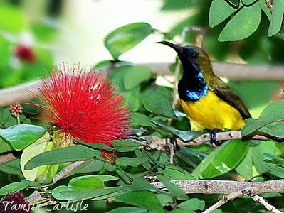 Olive-backed/Yellow-bellied Sunbird--male