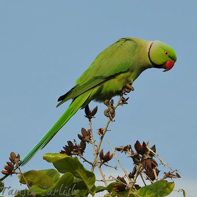 Rose-ringed Parakeet--male