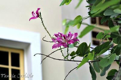 Orchid Tree/Camel's Foot Tree/Kachnar/Mountain Ebony