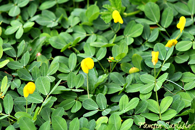 Yellow Pea Flowers