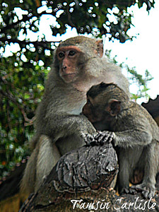 Crab-eating Macaques